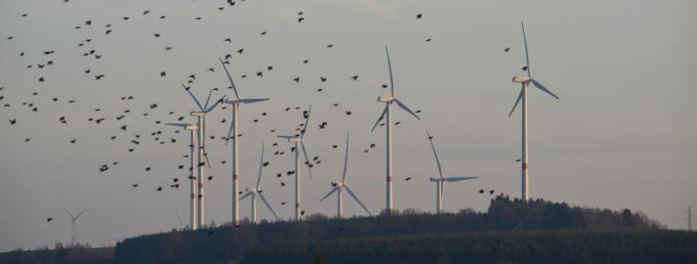energia eolica aves